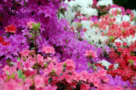 Isabella Plantation azaleas